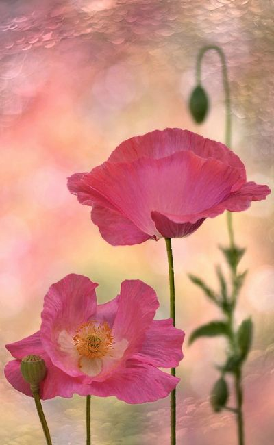 Pink Poppies ❤❤