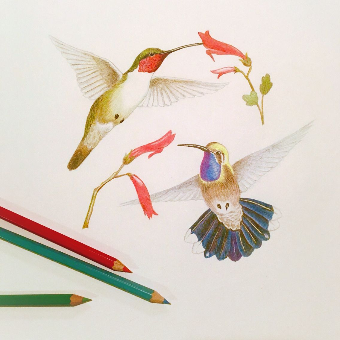 Hummingbirds Fine Art Giclee Print Colored Pencil Drawing Fine Art Giclee Prints Artwork Colored Pencil Drawing