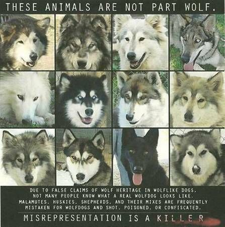 Animal awareness NOT WOLF DOGS Animals, Fluffy dogs