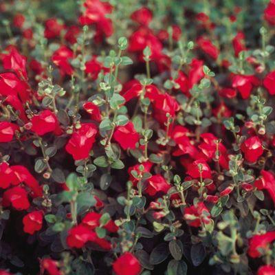Scutellaria suffrutescens 'Cherry Skullcap' | Yard | Garden