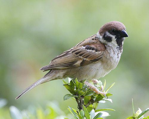 Harga Dan Suara Burung Sparrow Pictures Sparrow Beautiful Birds