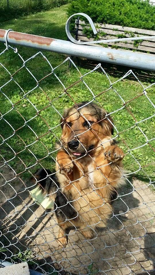 Meet Basset/German Shephard Puppy, a Petfinder adoptable