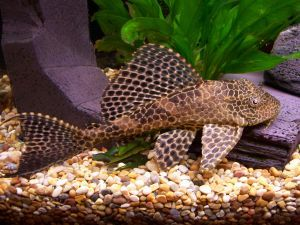Pin On Plecostomus