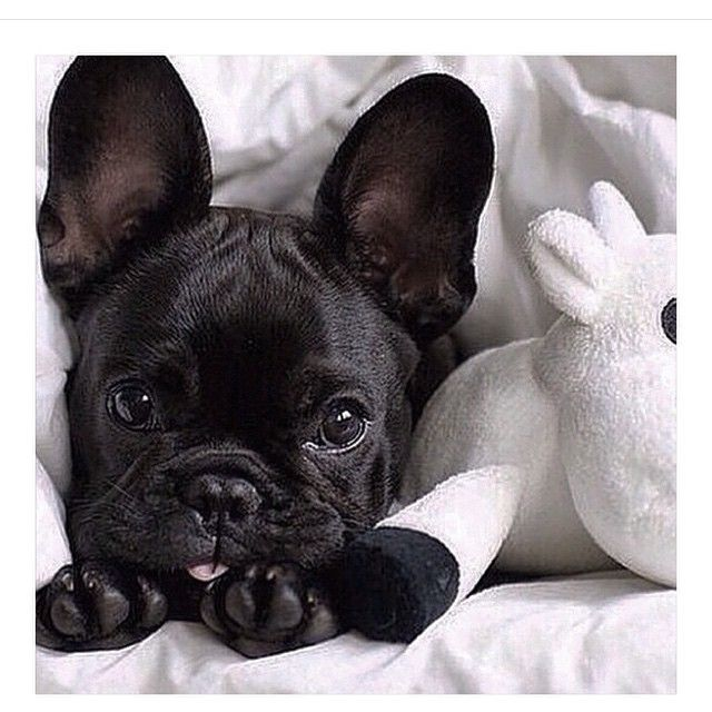 The Odder Side On Instagram Hello May Theodderside Fashion Brand Polish Weekend May Frenchbul Cute Baby Animals Frenchie Puppy French Bulldog Puppies
