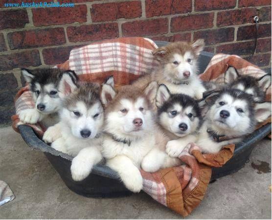 Husky Puppy Basket Puppies Alaskan Malamute Puppies Cute Baby