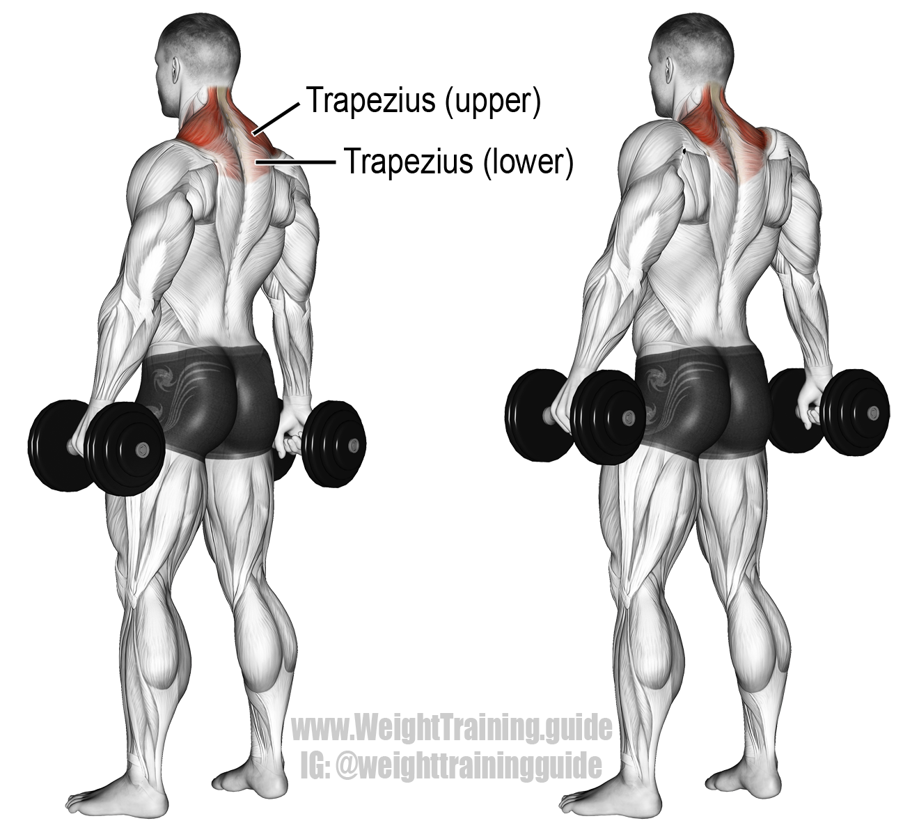 Free Weight Dumbbell Back Exercises: Dumbbell Shrug. An Isolation Exercise. Target Muscle