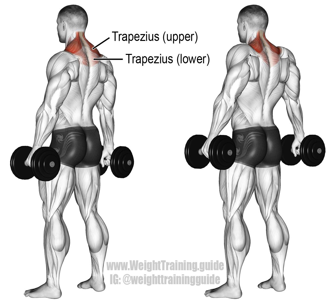 Dumbbell shrug exercise instructions and video | Ejercicios, Ejercicios de entrenamiento y Ejercicios musculacion