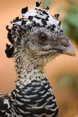39 curassow en goguette 2007 photographed by r mi leblond le jardin des oiseaux tropicaux - Jardin des oiseaux la londe ...