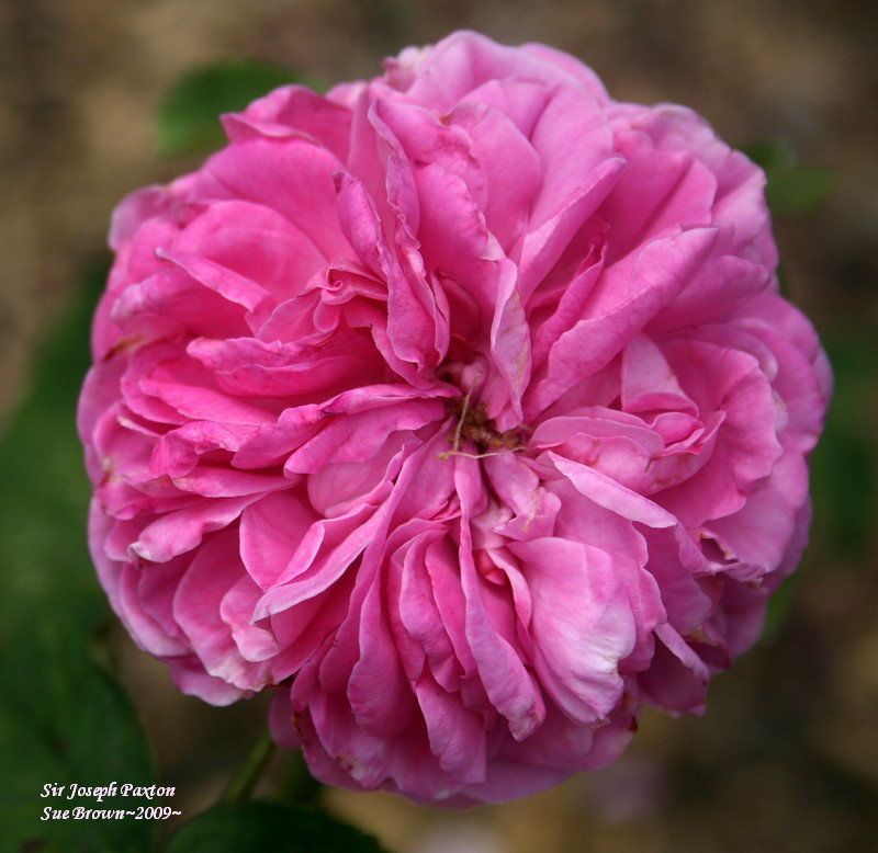 Sir Joseph paxton rose: fragrant - climber - blooms on new wood - do not prune!  http://davesgarden.com/guides/pf/go/51889/#b