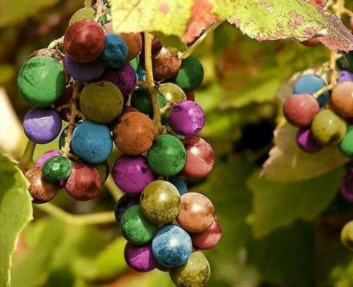 Mildly Sweet Fruit Grape Seeds Organic Medicinal 15 Seeds