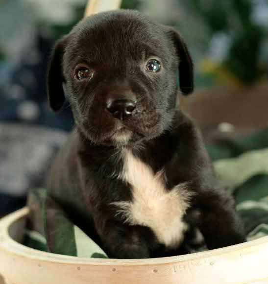 Ahhh I Love It Boxador Puppies Dog Baby Pictures Boxer Lab Mixes