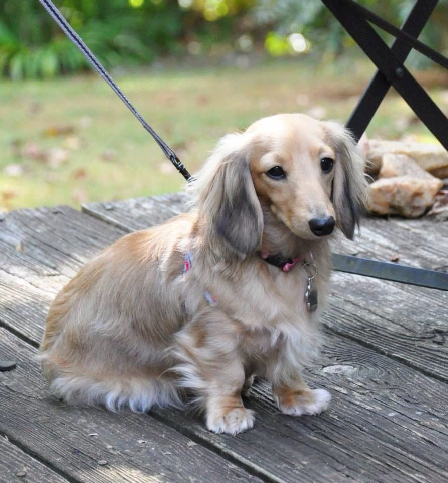 English cream long haired daschund want want want