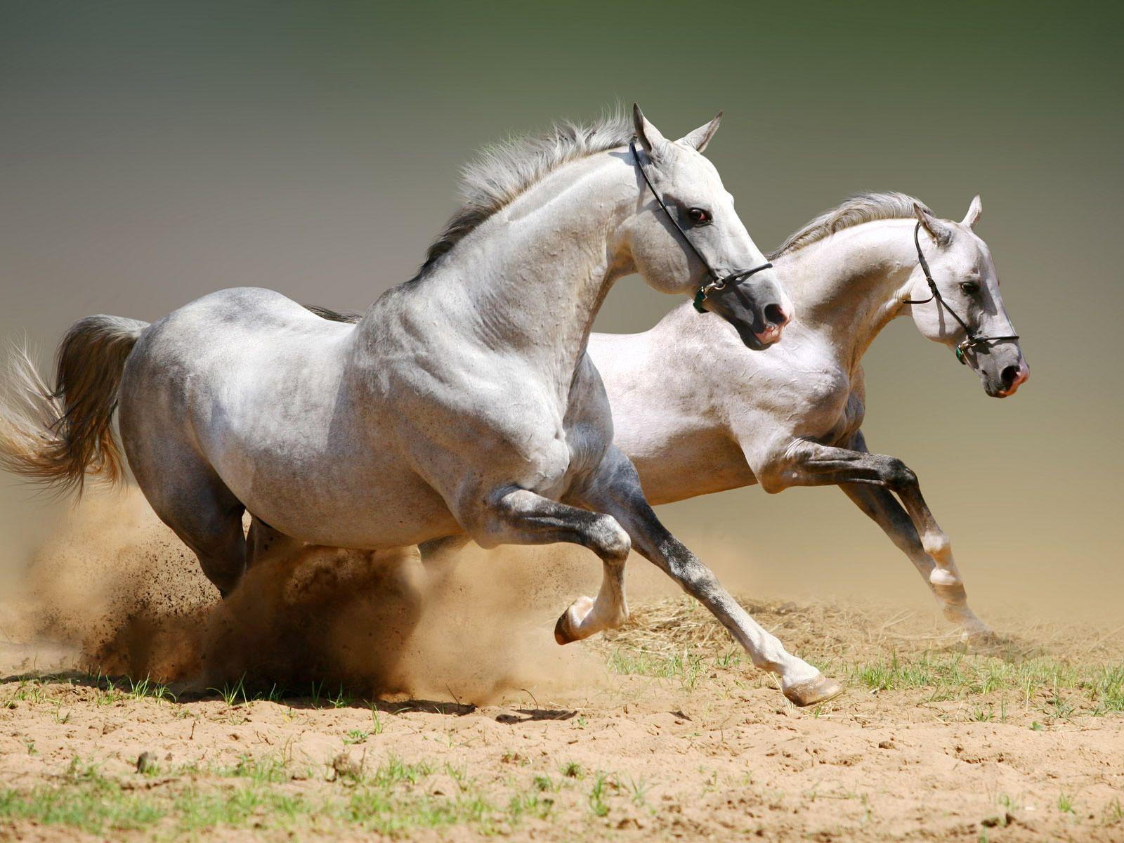 Amazing White Horses Wallpaper Caballos En Blanco Y Negro