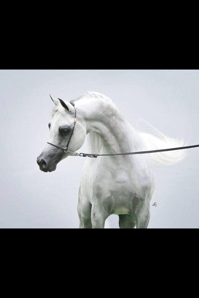 WowArabian Horse Arabian Horse Show - Western Competition Egyptian Stallion Breeding PIntabians