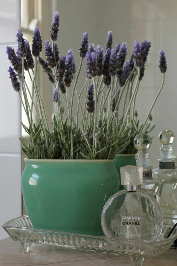 Indoor Plants Species Lavender Pot Plant Sunnie S Favorites