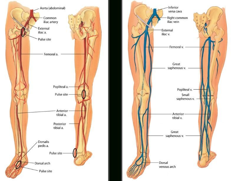 Lower limb artery and vein anatomy - Anatomy Note - www.anatomynote ...