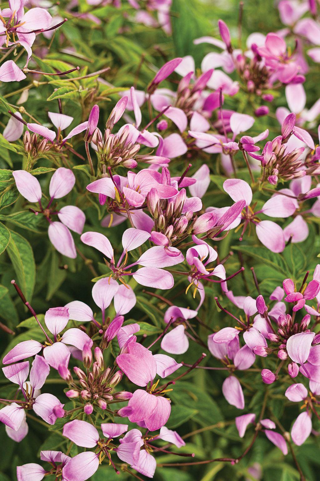 Pequeña Rosalita® Spider Flower Cleome hybrid Trees