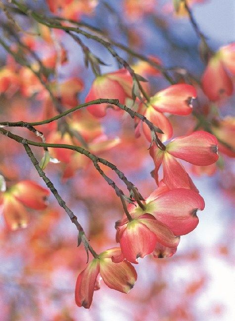 Discover the best dogwood tree varieties for the