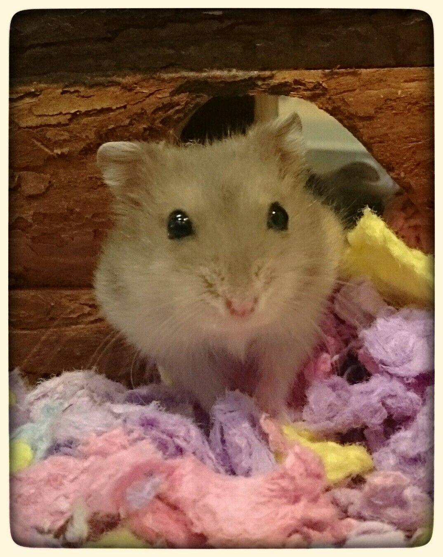 Female Winter White Dwarf Hamster Hamster Dwarf Hamster Cute Animals