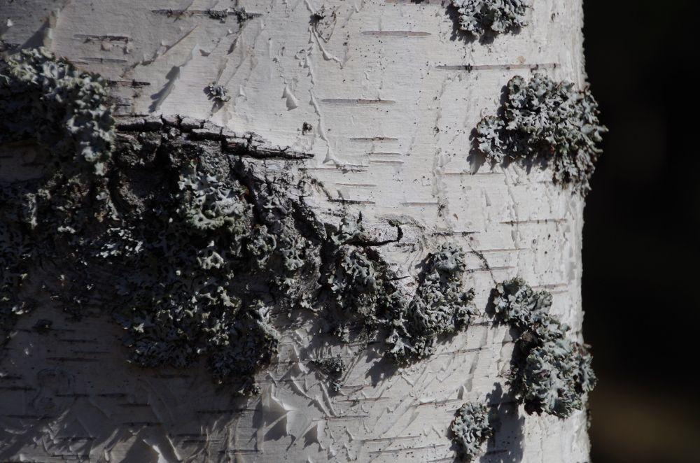 Birch - Björknävan