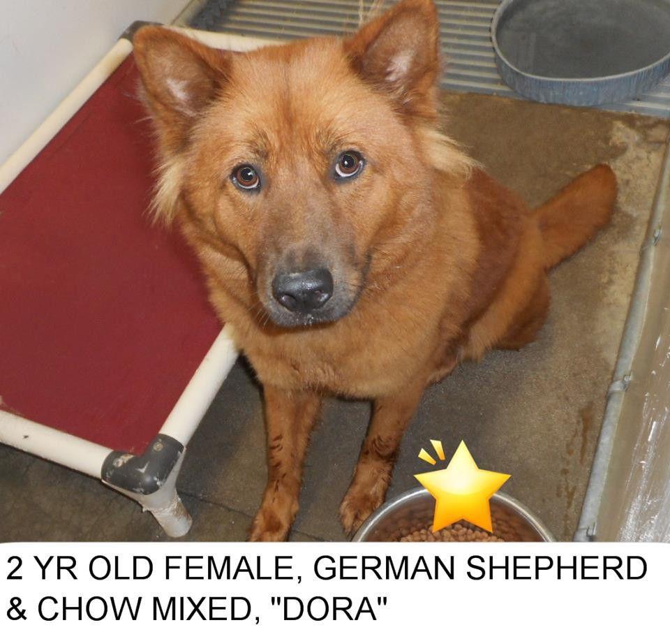Dora Is A Pretty German Shepherdchow Mix Dog Who Needs A Home Of - Dora german shepherd