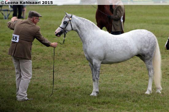 Welsh B mare Telynau Gwenfair, born 2009 GBR, by Eyarth Mercury out of Telynau Gwyneira by Eyarth Rio