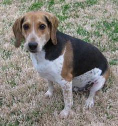 Adopt Oscar On Adorable Animals Dogs Adoptable Beagle Beagle Dog