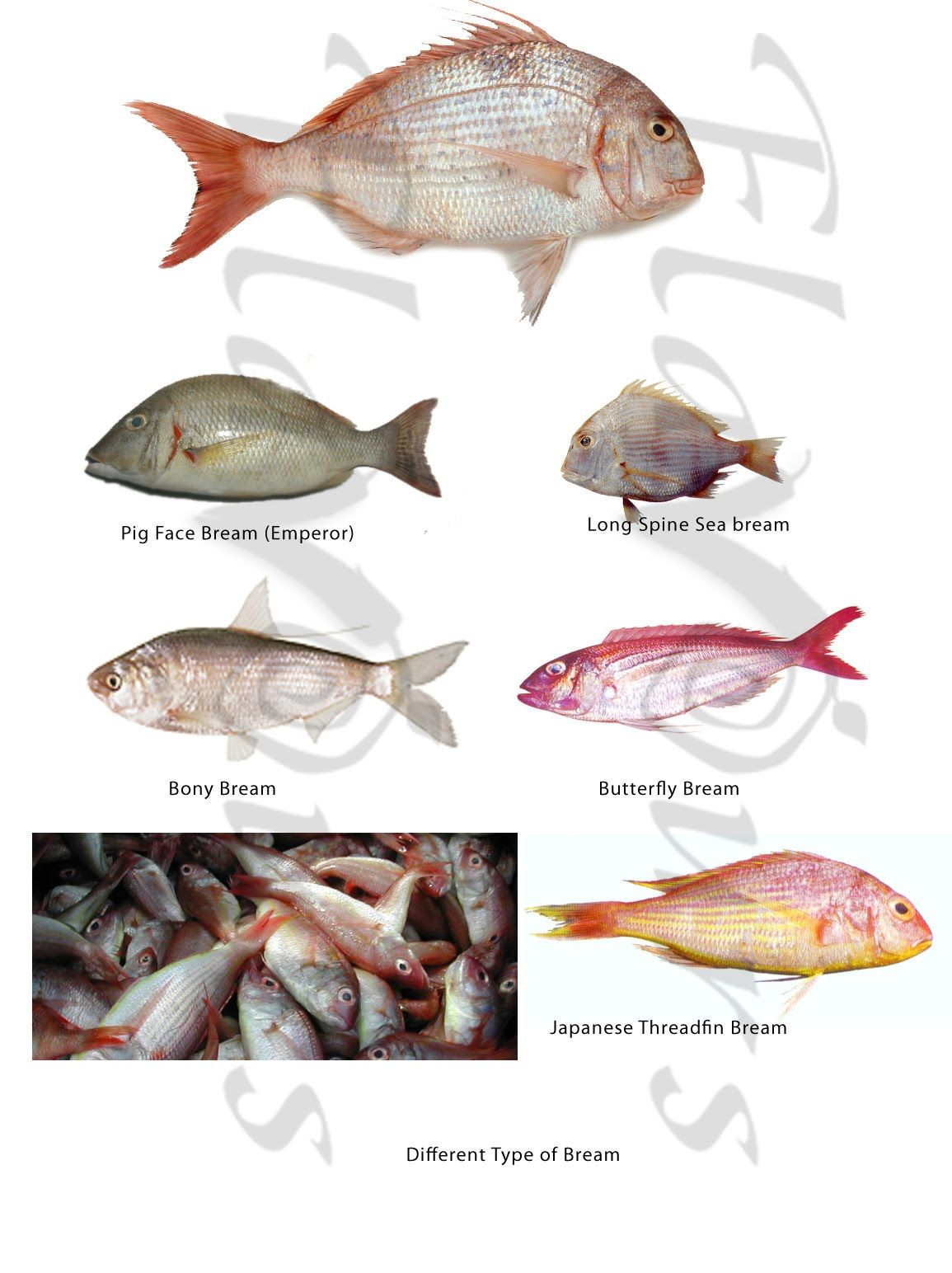 Singapore fish and its name useful informations for Ocean fish names