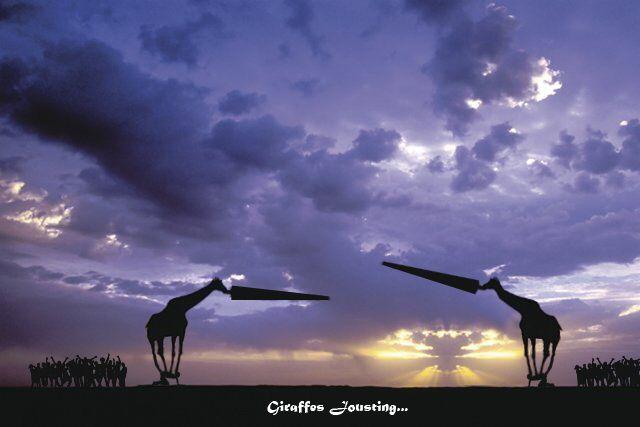 Giraffes jousting.