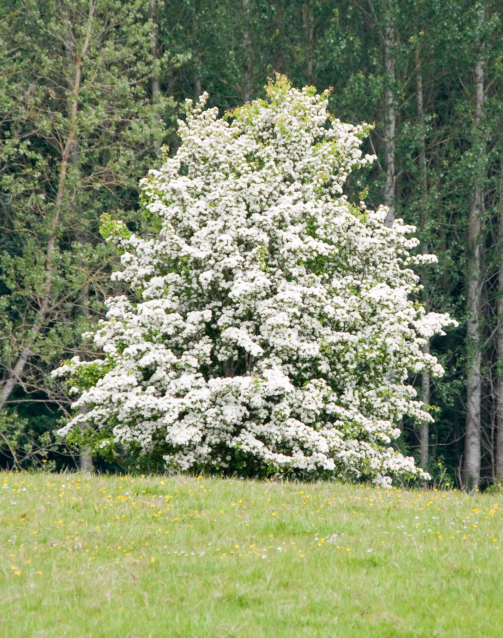 Types Of Hawthorn Trees How To Grow Hawthorn In The Landscape