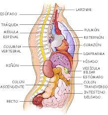 21 Ideas De Cuerpo Humano Cuerpo Humano Cuerpo Sistemas Del Cuerpo Humano