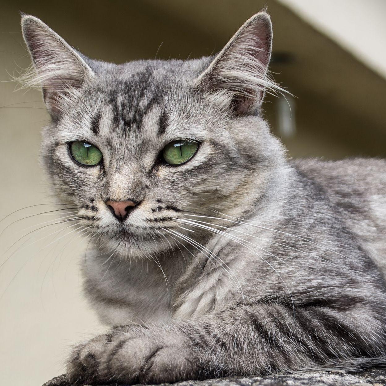 Beautiful Gray Tabby Cat Cutecat Beautifulcat Catears Aww Grey Tabby Cats Pretty Cats Beautiful Cat