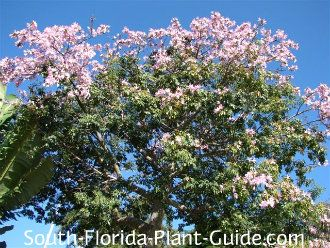 Floss Silk Tree Silk Tree Silk Floss Florida Plants