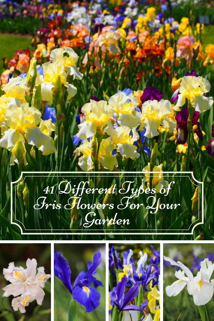 Beautiful Showy Irises That Will Make Your Garden So Attractive Iris Flower Blossoms Garden Landscaping