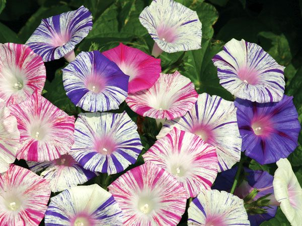 A truly stunning mixed of two types of morning glory flowers they a truly stunning mixed of two types of morning glory flowers they come white with rose pink or with purple blue stripes mightylinksfo