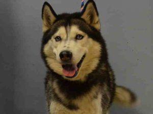 Pin On Husky Dogs For Adoption