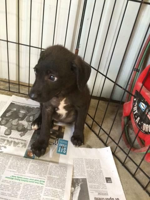 Meet Pericles, a Petfinder adoptable Border Collie Dog | Clarkston, MI | We are 9-10 week old mixed breed pups. We will be available for adoption Sunday, August 16th.We do...
