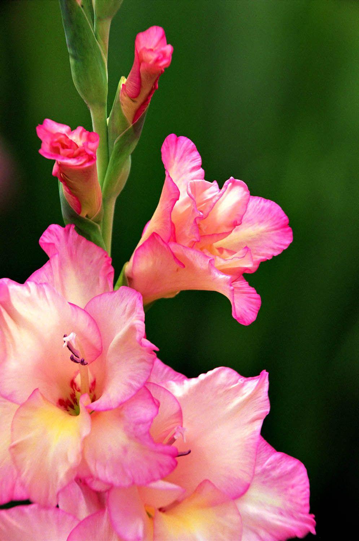 Nature S Collection Exquisite Nature Scenes Gladiolus Flower Birth Flowers August Birth Flower