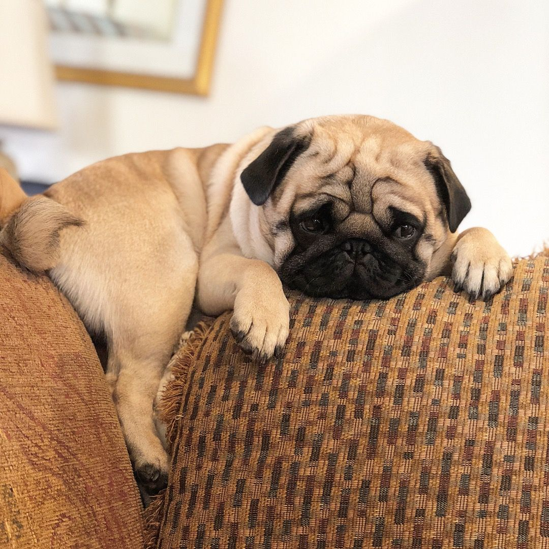 Pin By Victoria On Cuties Cute Pug Puppies Baby Pugs