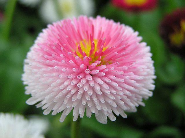 English Daisy Bell Bellis Perennis Flower Seeds Flowers Coolest bell flower wallpaper