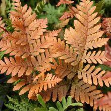 Koidzumiana's Autumn Fern for sale buy Dryopteris koidzumiana