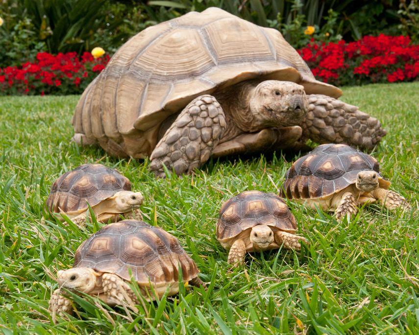 Photo A herd of tiny tortoise tots Tortoises, Sulcata