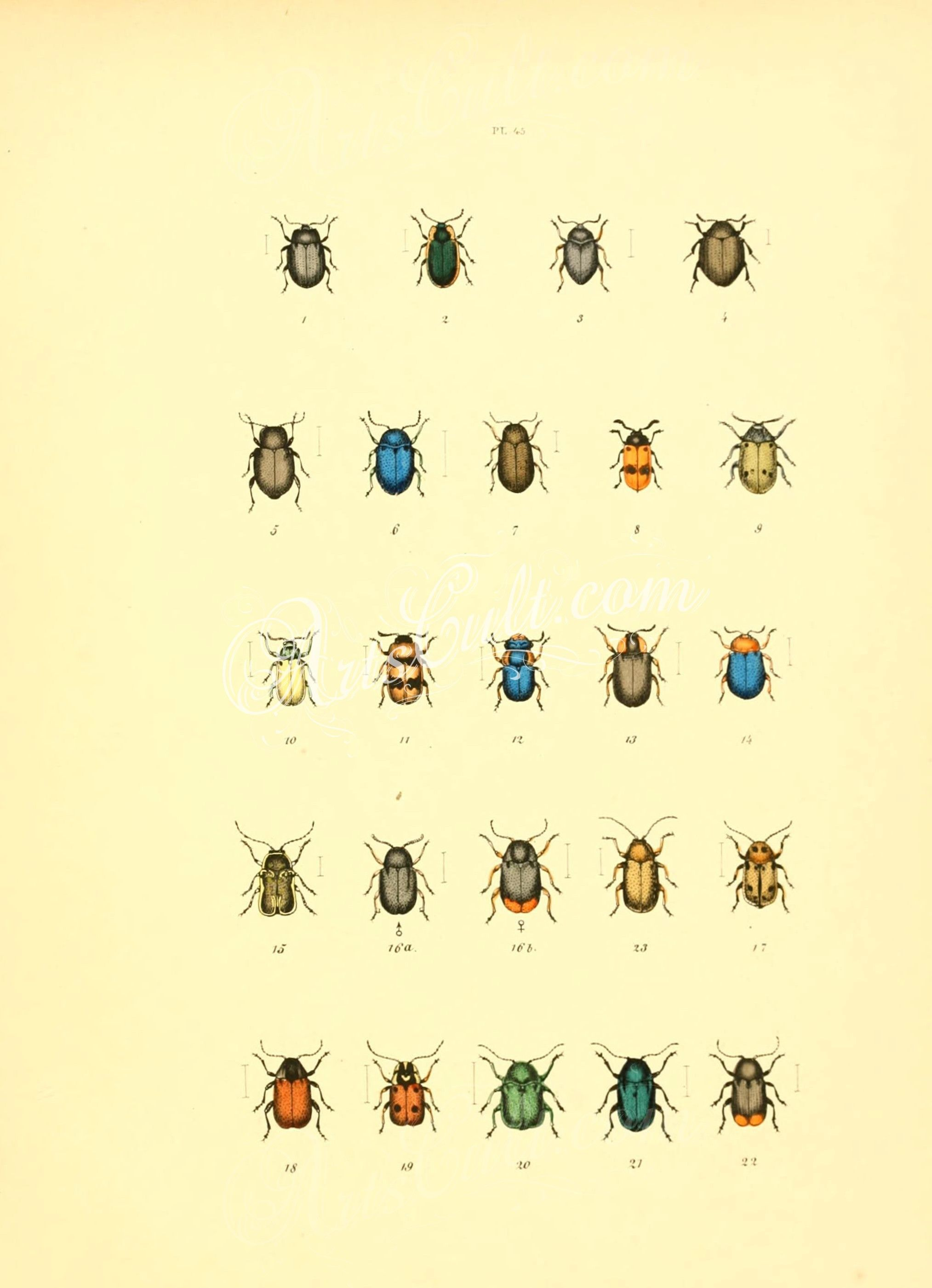 004-Beetle, coleoptera ... | ArtsCult.com - best | Pinterest ...