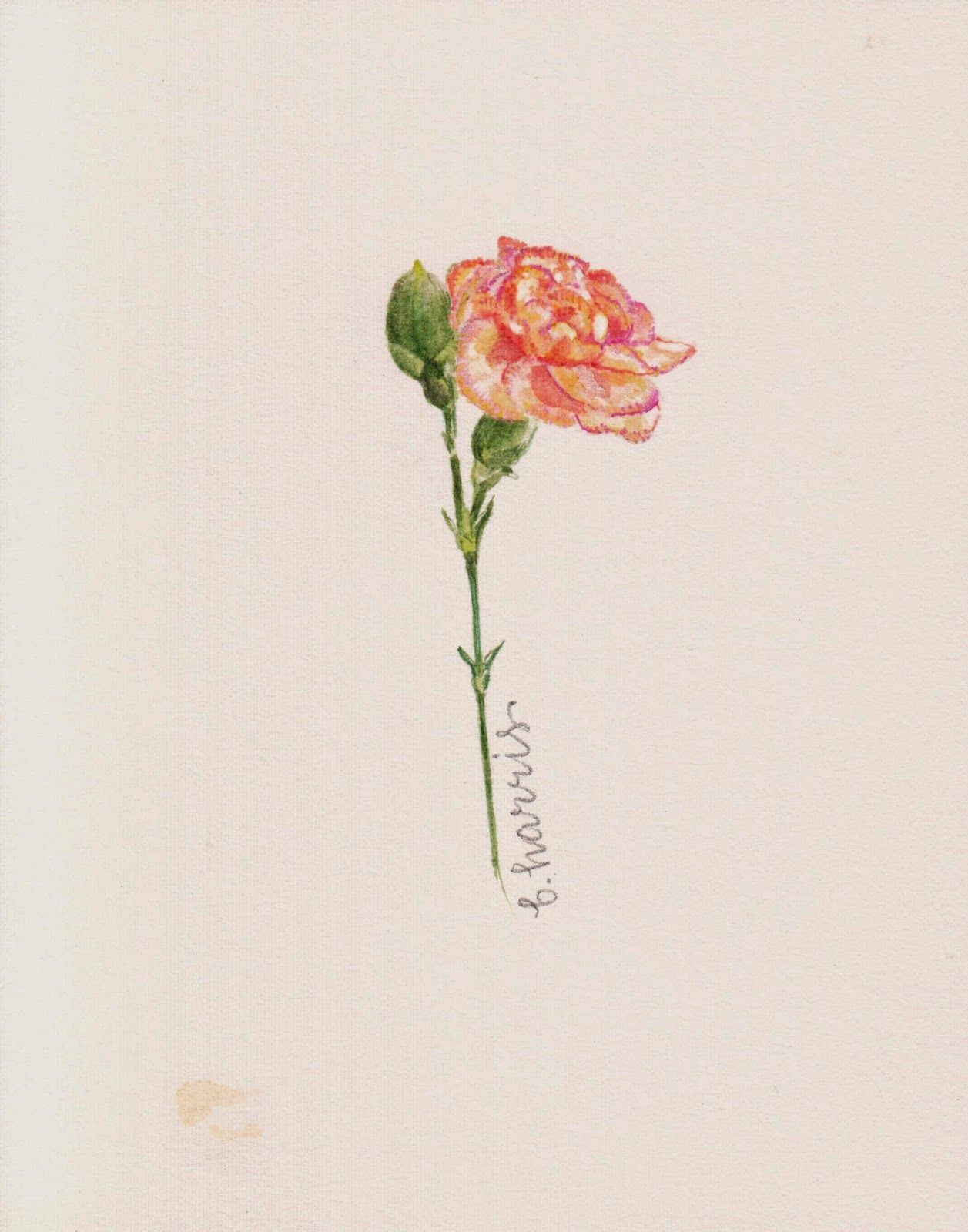 Picotee Carnation Watercolor Carnation Tattoo Carnation Flower