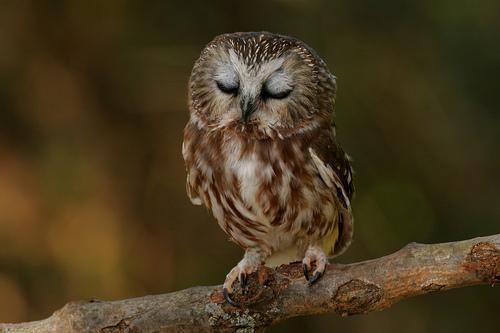 Jen Wilkinson On Twitter Saw Whet Owl Baby Owls Animals