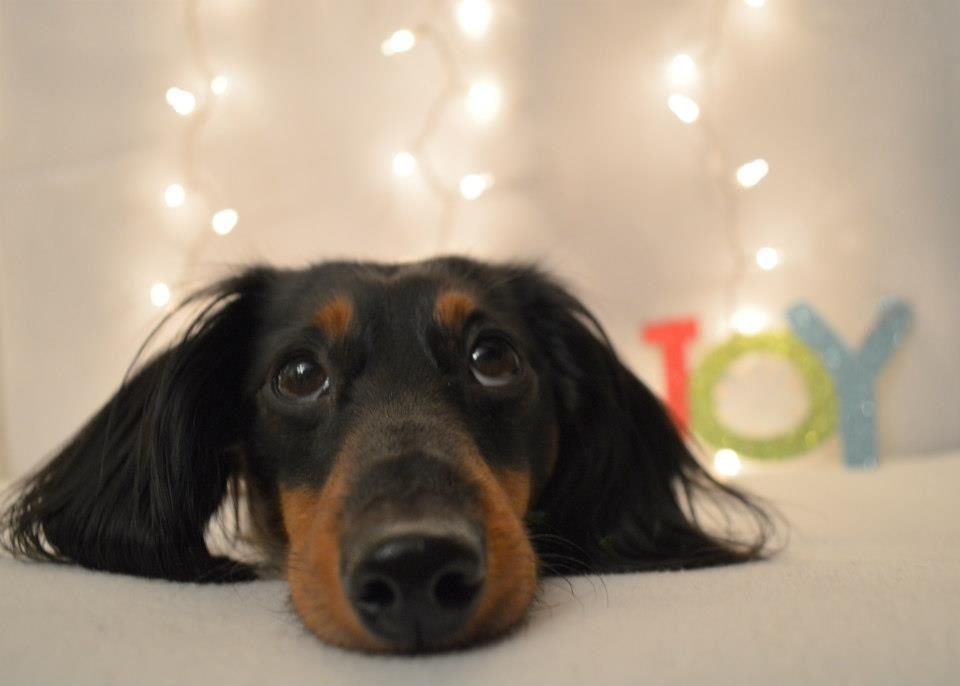 Christmas card dachshund