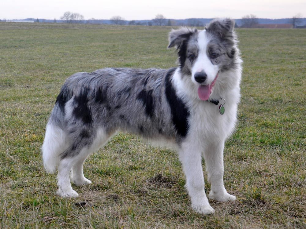 Dog S Life Border Collie Blue Merle Collie Dog Collie Puppies