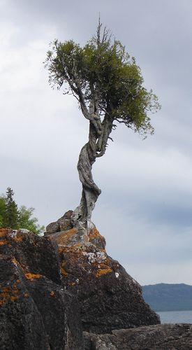 The Witch Tree is an ancient Thuja occidentalis growing on the shore of Lake Superior near Grand Marais.  The tree is held sacred by the Ojibwe, who traditionally leave offerings of tobacco to ensure a safe journey on Lake Superior. Due to its sacred nature and vandalism problems in the past, the tree is considered off limits to visitors unless accompanied by a local Ojibwe band member.