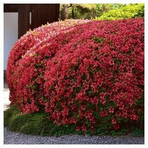 • Includes One 3 - Quart Trade Gallon Azalea 'Christina'<br>• U.S.D.A. Hardiness Zones 5-8<br>• Cannot ship to the following states and territories AK, HI, PR, VI, and GUAM or APO/FPO addresses<br><br>Cottage Hill, Azalea 'Christina' is an exceptional cold hardy azalea that offers double rose-red blooms that cover the shrub in late spring. 'Christina' reaches 3-4 feet in height and 4-5 feet in width and is a dense...
