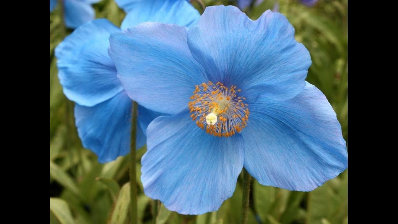 Amazing And Most Beautiful Himalayan Blue Poppy Flowers National